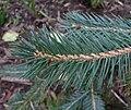 Picea chihuahuana 3.jpg