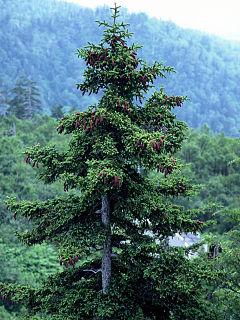 <i>Picea jezoensis</i> species of plant