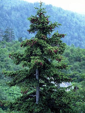 Picea jezoensis - Image: Picea jezoensis