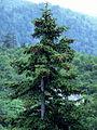 Picea jezoensis.JPG