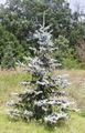 Picea pungens3.jpg