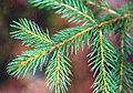 Picea rubens.jpg