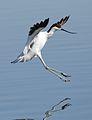 Pied Avocet, Recurvirostra avosetta at Marievale Nature Reserve, Gauteng, South Africa (27826726681).jpg