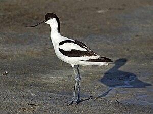 Avocet - Pied avocet  (Recurvirostra avosetta)