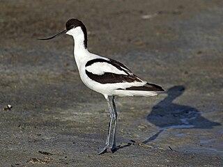 Pied avocet Species of bird