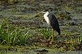 Pied Heron - Fogg Dam.jpg