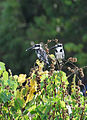 Pied kingfishers (8396479463).jpg