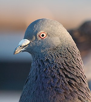 A close up portrait of a rock pigeon