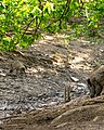 Pigs going over a small Dried-up river.jpg