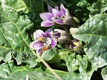 Mandragora Autumnalis Wikipedia