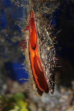 Pinctada margaritifera - Live individual on display in the Aquarium Finisterrae