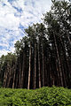 Pine plantation at Theydon Mount Essex England 05.jpg