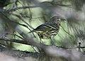 Pine siskin Waterton Lakes (2670426781).jpg