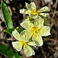 Pinebarren frostweed (Light yellow variety) (6798603551).jpg