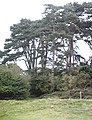 Pines, Hatfield Forest - geograph.org.uk - 542047.jpg