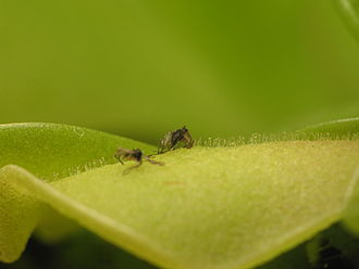 Pinguicula - A fly trapped on a butterwort leaf. Glandular hairs are visible