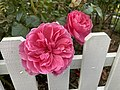 Pink Garden Rose by A - 2020-06-18 (01).jpg