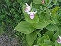 Pink Lady Slipper P7120402.jpg