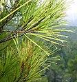 Pinus brutia foliage Cyprus1.jpg