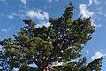 Pinus densiflora Gotemba.jpg