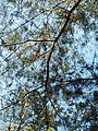Pinus glabra, Tallahassee, Florida 6.jpg
