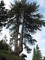 Pinus heldreichii Pirin 0.jpg