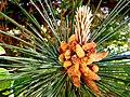 Pinus nigra pollen cones, Macedonia.jpg