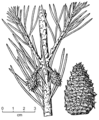 Pinus virginiana drawing.png
