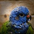 Pionus menstruus -La Senda Verde Animal Refuge -Bolivia-8b.jpg