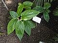 Piper oblongum - Botanical Garden in Kaisaniemi, Helsinki - DSC03616.JPG