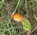 Plain Tiger. Danaus chrysippus - Flickr - gailhampshire (1).jpg