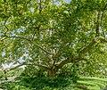 Platanus Doblhoffpark Baden 9364 Mercator 9.jpg
