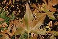 Platanus racemosa-16.jpg