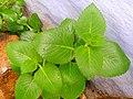 Plectranthus amboinicus in Tamilnadu.jpg