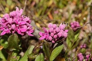 <i>Plectritis congesta</i> species of plant