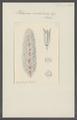 Plethosoma cristalloides - - Print - Iconographia Zoologica - Special Collections University of Amsterdam - UBAINV0274 110 14 0025.tif