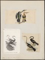 Plotus anhinga - 1700-1880 - Print - Iconographia Zoologica - Special Collections University of Amsterdam - UBA01 IZ18000023.tif