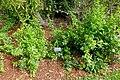 Plumbago auriculata - Mounts Botanical Garden - Palm Beach County, Florida - DSC03803.jpg