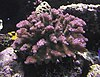 Pocillopora verrucosa, commonly known as rasp coral or knob-horned coral