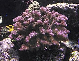 <i>Pocillopora verrucosa</i> species of cnidarian