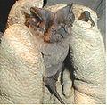 Pocketed free-tailed bat (Nyctinomops femorosaccus).jpg