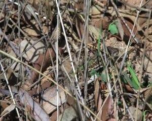 File:Podarcis siculus - hunting.ogv