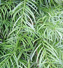 podocarpus deflexus classification and habitat Yellowwood: yellowwood, any of about 100 species of coniferous evergreen timber trees and shrubs constituting the conifer genus podocarpus (family podocarpaceae.