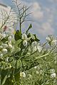 Pois d'hiver FRESNEL (précoce,jaune) Agri-Obtentions-8-cliche Jean Weber (23975701092).jpg