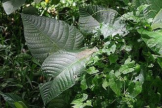 Urticaceae - Image: Poisonivy 1