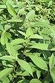 Polygonum molle - Sikkim Knotweed - at Ooty 2014 (5).jpg