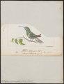 Polytmus tephrocephalus - 1820-1860 - Print - Iconographia Zoologica - Special Collections University of Amsterdam - UBA01 IZ19100103.tif