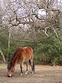 Pony grazing in Bignell Wood, New Forest - geograph.org.uk - 135768.jpg