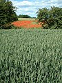 Poppy Field - geograph.org.uk - 51721.jpg
