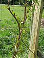 Populus balsamifera (26607420982).jpg